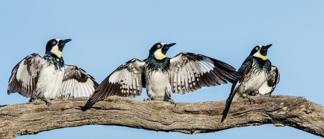 Three woodpeckers perched on a branch with their wings outstretched