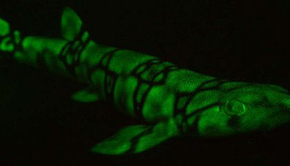 """Shark Vision"" Shines Light on Biofluorescent Species"