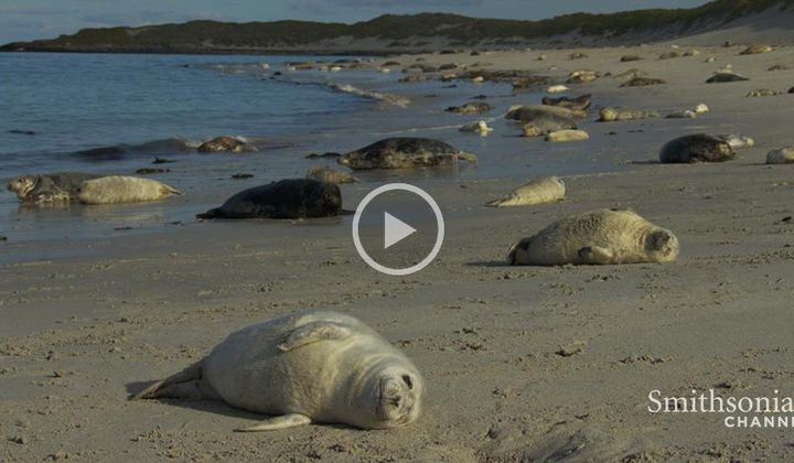 The Grey Seal Pupping Season in Scotland Is Spectacular