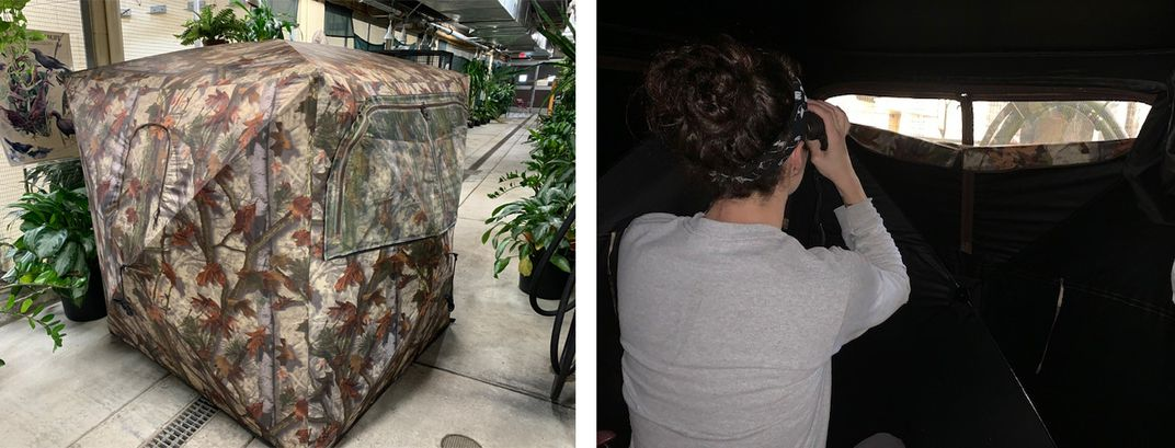 On the left, a camouflage, square tent that animal keepers can use to observe birds. On the right, keeper Erica Royer sits inside the tent and uses binoculars to observe the birds from a small window in the tent.