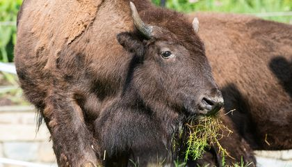 The Historic Return of the American Bison