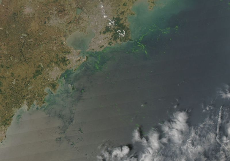Algae in the Yellow Sea near Qingdao in 2008
