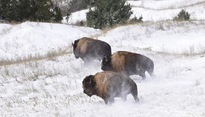Part of the Badlands Opens to Bison—for the First Time in 150 Years