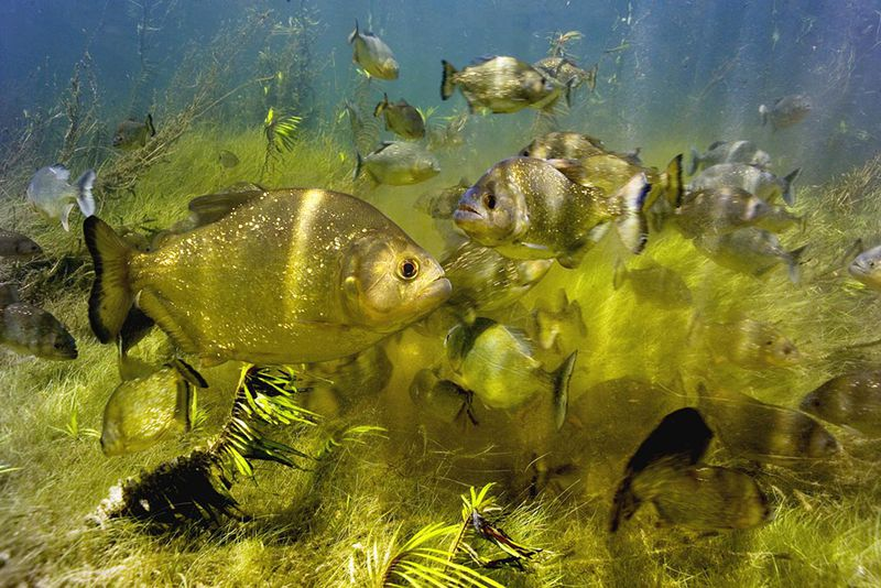 Red-bellied piranhas are particularly known as pack hunters. Though it might seem an advantageous hunting technique—more fish could theoretically take down ...