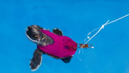 How Baby Sea Turtles on Treadmills Can Help Researchers Understand Wild Turtle Survival