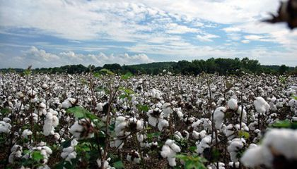 Cotton: The Fabric of Our...Lunch?