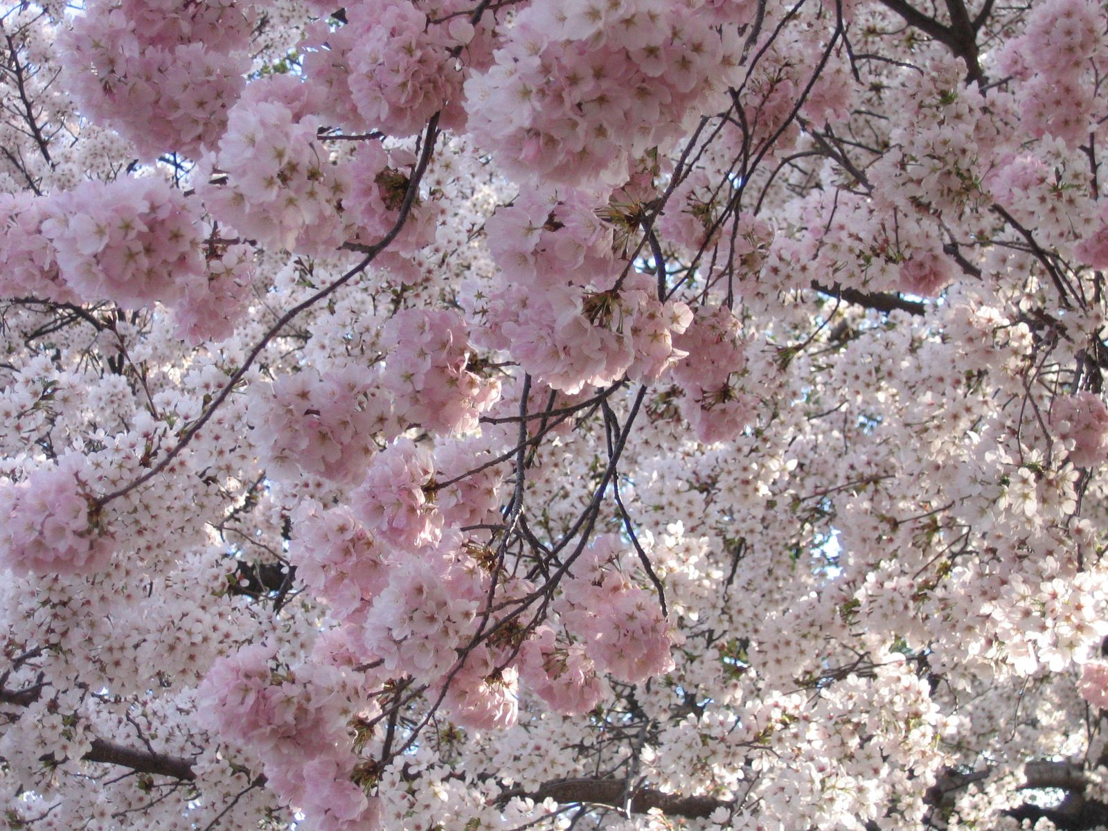 Where To See The Best Cherry Blossoms Around The World Travel Smithsonian Magazine