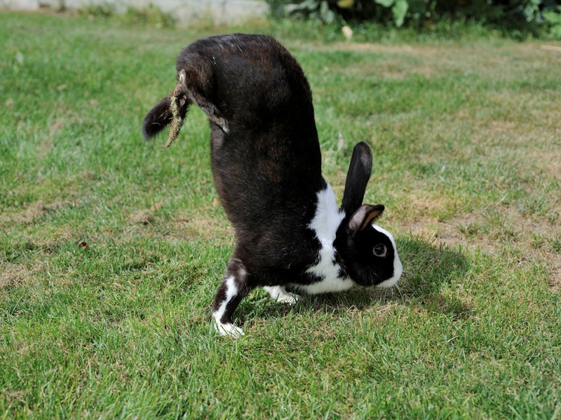 A black and white rabbit stands on its front paws, with its butt in the air, on a grassy lawn
