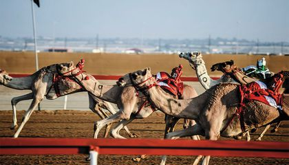 The Latest Sign That the Robot Uprising Is Nigh? Camel Racing