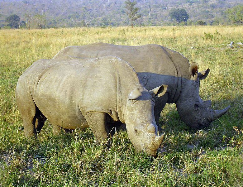 horn trade legalization South africa may lift a ban on the domestic trade of rhino horn rhino farmers say the moratorium hasn't stopped poaching, while critics say ending the ban.