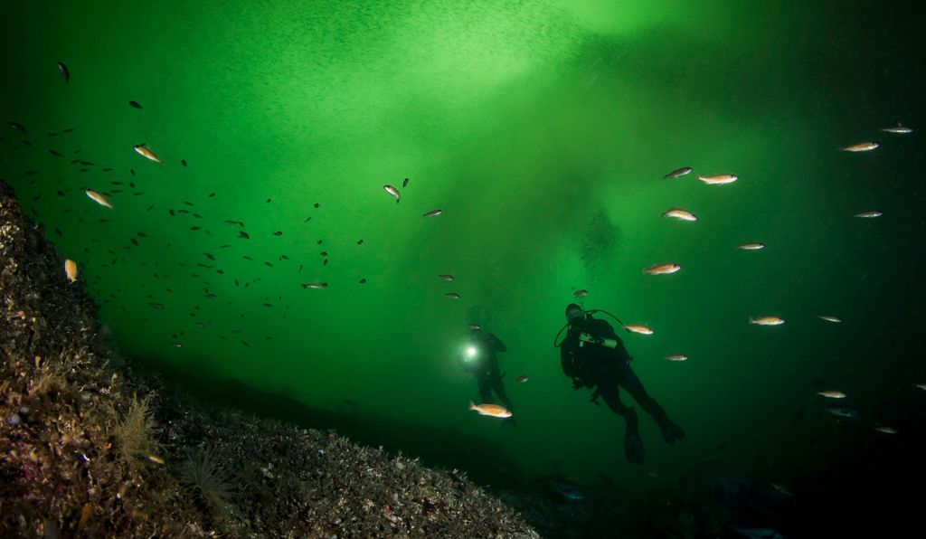 Scuba Divers swim among Puget Sound Rockfish with a cloud of pacific herring schooling in the background in the emerald green waters of Barkley Sound, British Columbia.