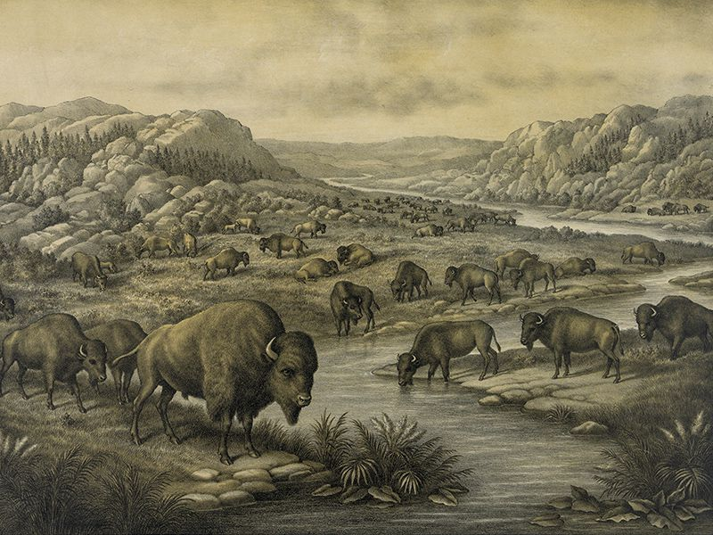 Buffaloes at Rest 1911 print