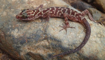 Scientists at the Smithsonian's National Museum of Natural History traveled the world and made many new discoveries this year--like this Cyrtodactylis payarhtanensis, a new species of bent-toed gecko. (Daniel G. Mulcahy)