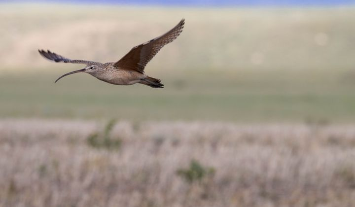 Long-billed curlews are the largest shorebirds in North America, but they are only found along coasts during the winter. They spend their summers breeding in the grasslands of Montana.