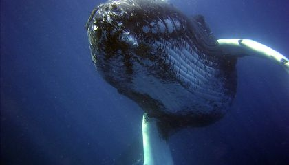 Here's What Whale Songs Look Like as Sheet Music