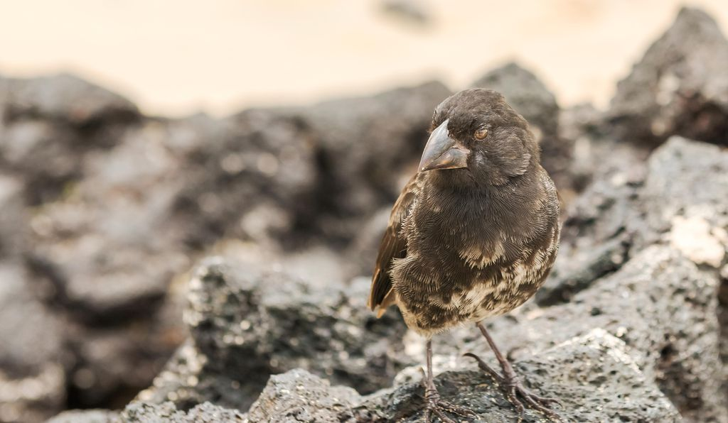 The finches of the Galapagos islands provided a key example for Darwin's theory of evolution by natural selection.