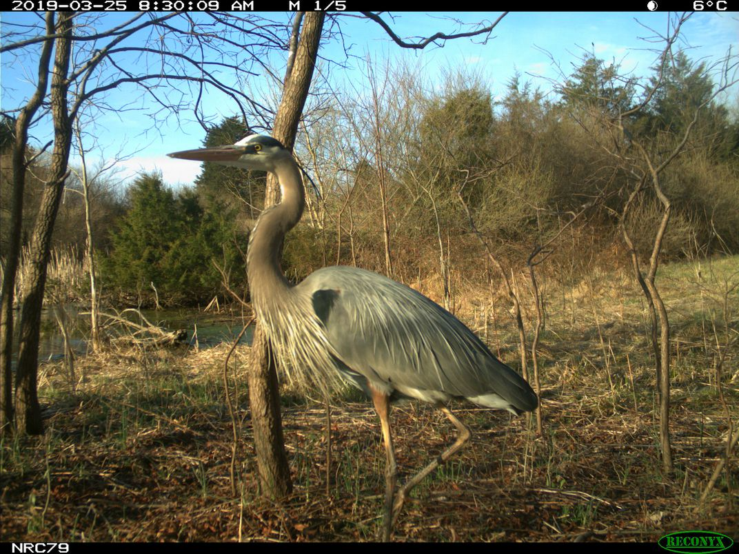 A blue heron caught on a trail cam.