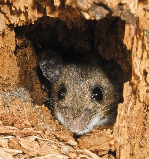 The Mystery of the Singing Mice | Science | Smithsonian Magazine