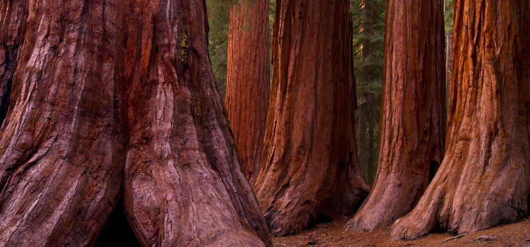 Trunks of Giant Sequoia