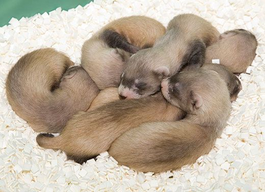 help name the national zoo s baby black footed ferret science