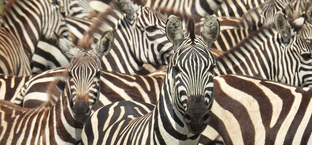 Up-close view of zebras. Credit: Kirt Kempter
