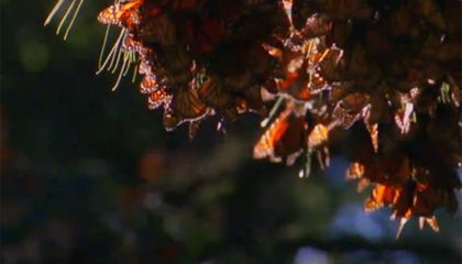 Beautiful Monarch Butterflies Basically Aren't Migrating Anymore
