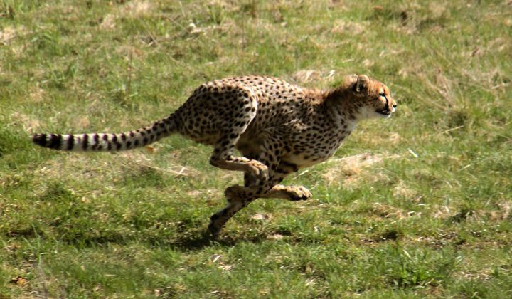 What Is the Key to Animal Speed?