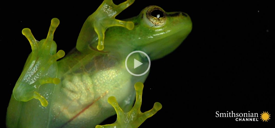Caption: Glass Frog's Heart Visible Through Its Skin