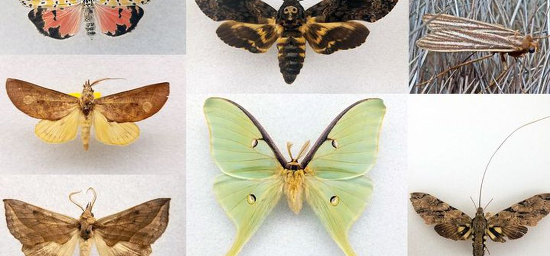 Caption: Marvel at the World's Most Magnificent Moths