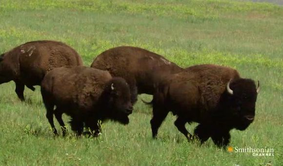 Preview thumbnail for video'Battle of the Bison