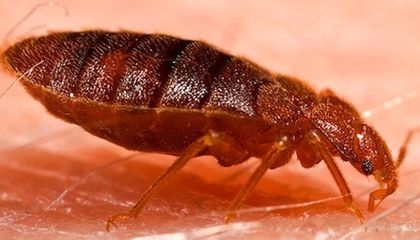 Bed Bugs Are Even Peskier Than We Thought