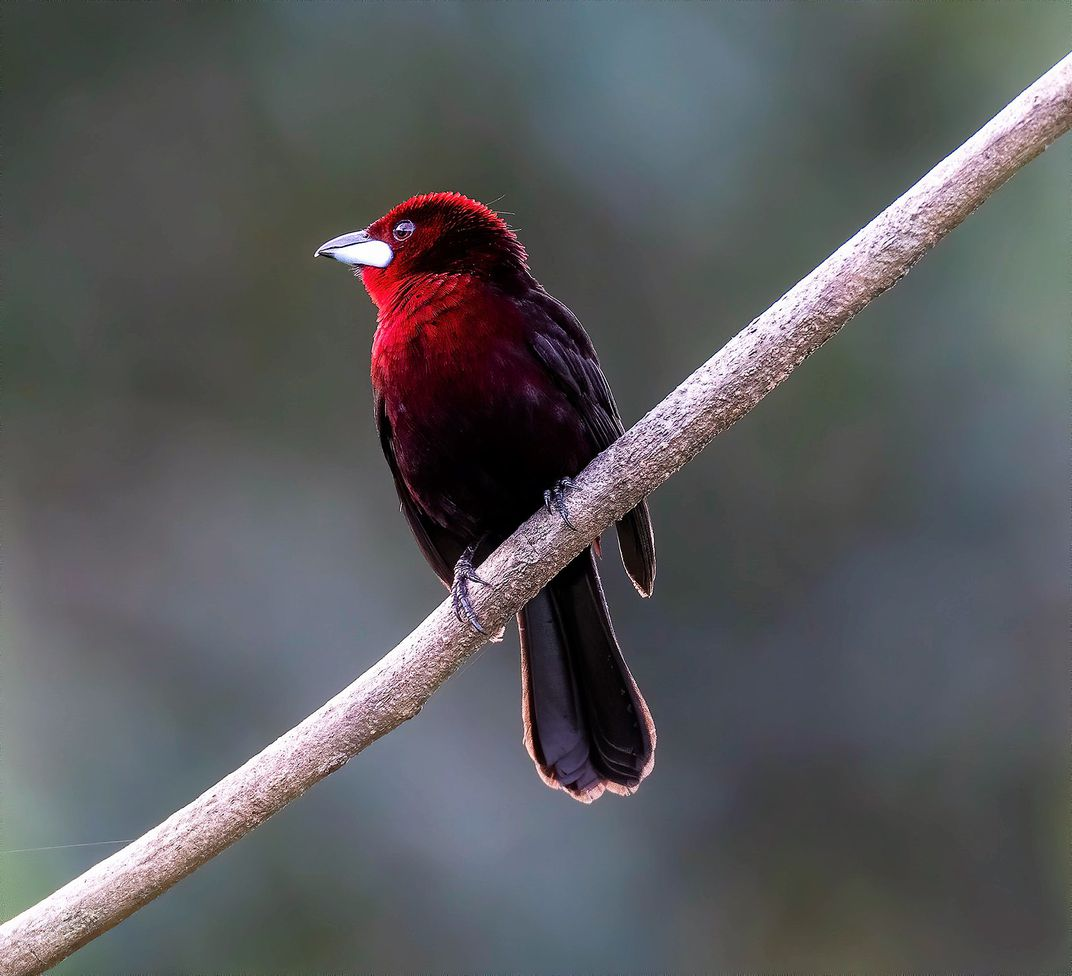 male silver-beaked tanager