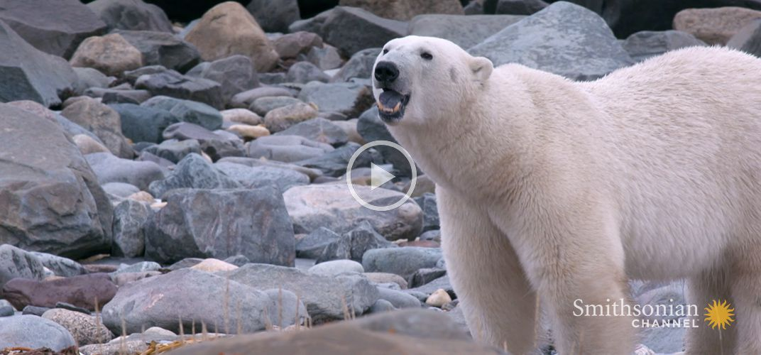 Caption: A Polar Bear's Diet Consists of Anything Edible