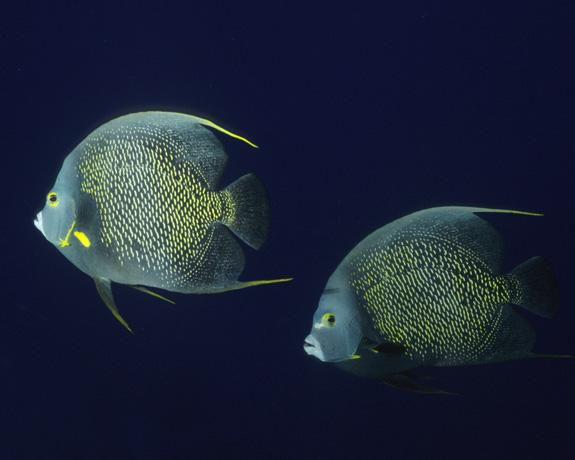 A pair of French angelfish off the coast of Brazil.