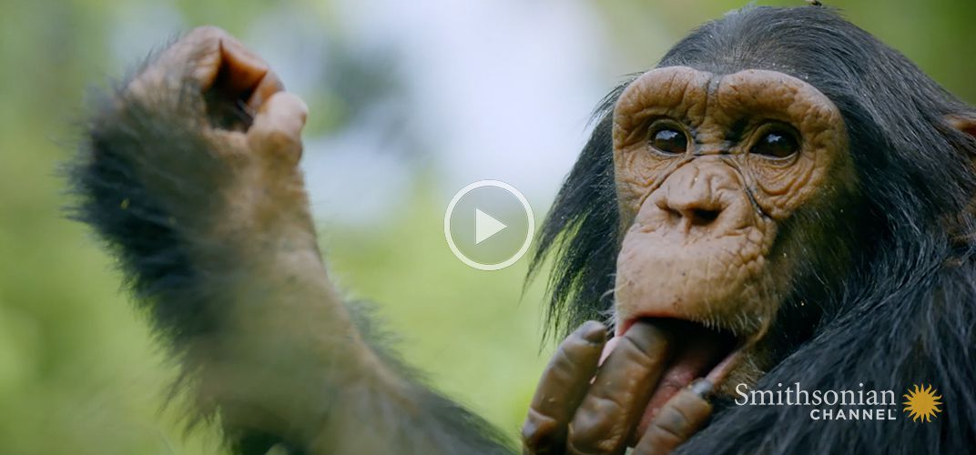 Caption: Like Humans, Chimps Learn Behavior From One Another