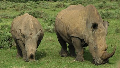 Thieves Break Into Safe to Steal $3 Million Worth of Rhino Horns