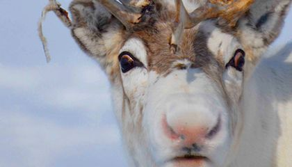 The Scientific Reason Why Reindeer Have Red Noses