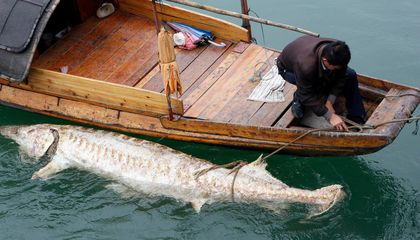 Chinese Sturgeon Is on the Brink of Extinction After 140 Million