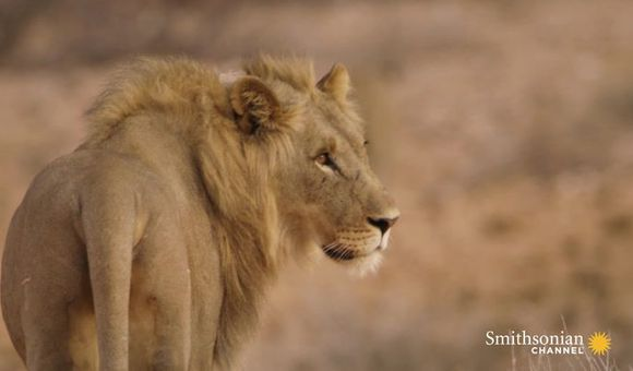 Preview thumbnail for video'Five Young Lion Brothers Mate With One Lioness
