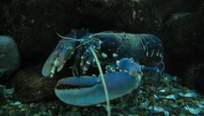Don't Listen to the Buzz: Lobsters Aren't Actually Immortal