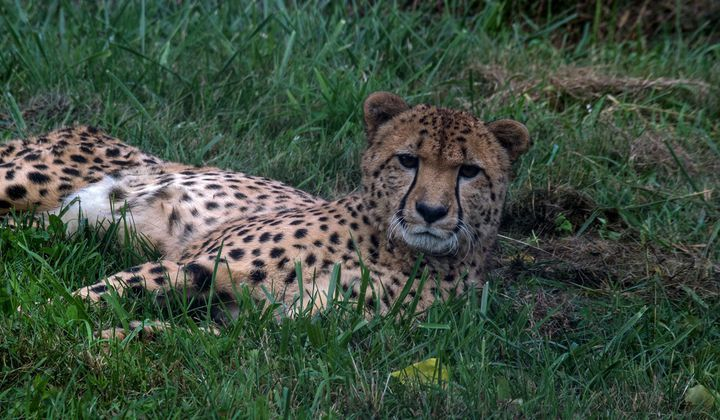 Five Cheetah Stories From the National Zoo