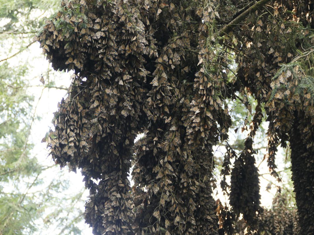 monarchs in oyamel firs in central mexico.jpeg
