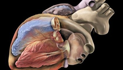 Growing New Hearts Without Using Embryonic Stem Cells