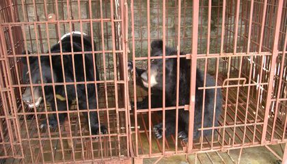 Vietnam Commits to Shut Down Bear Bile Farms