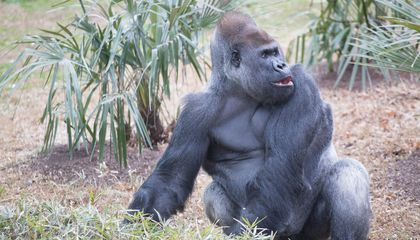 How Do You Help a Gorilla With a Toothache?