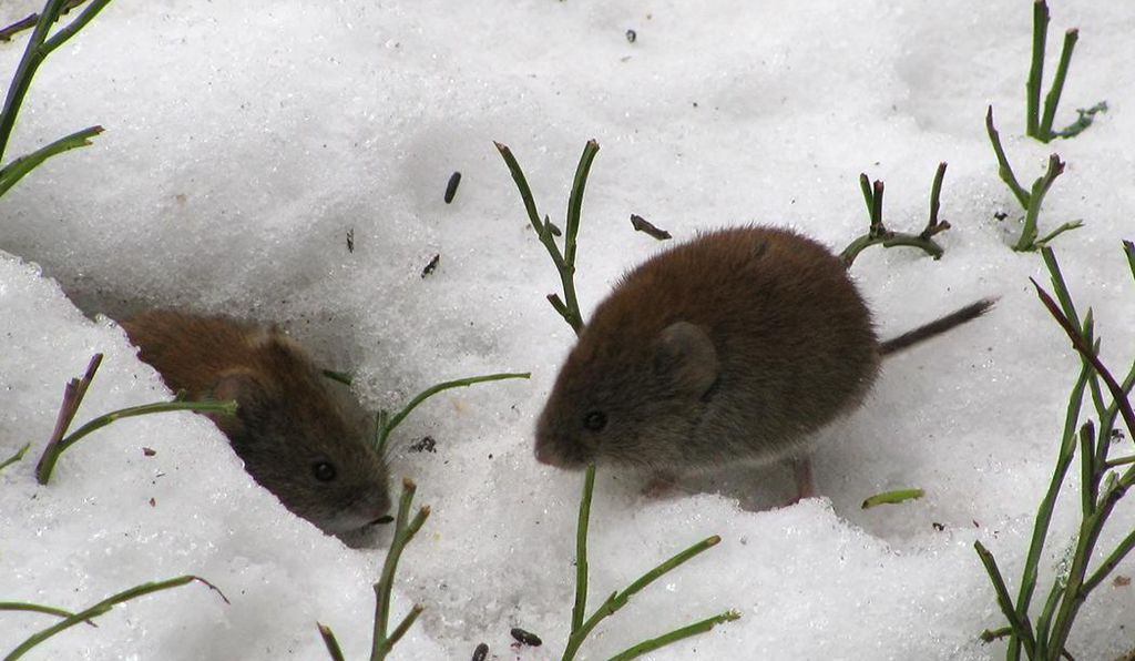 Field voles do not hibernate, but spend winter tunneling in the unfrozen leaf litter below the snow.