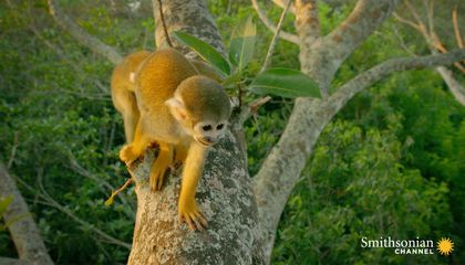 This Human Feature Gives Squirrel Monkeys Their Precise Grip