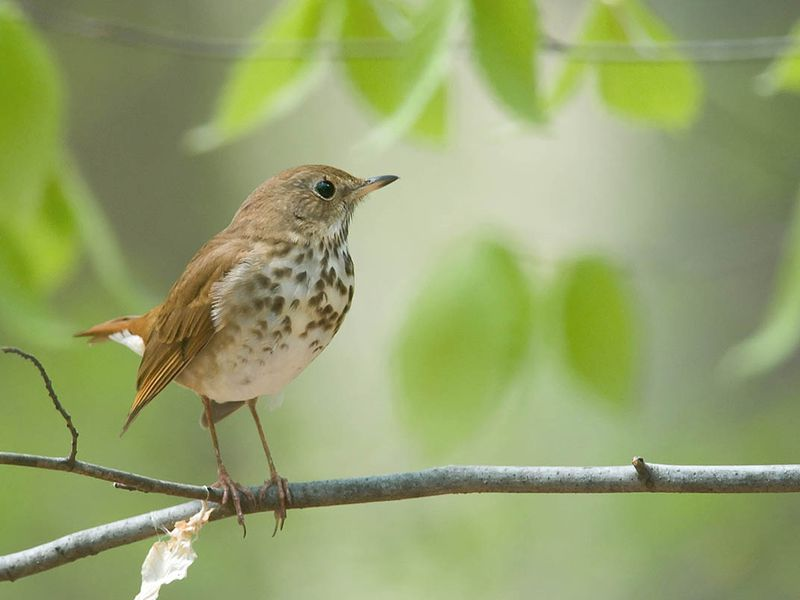 This Bird's Songs Share Mathematical Hallmarks With Human
