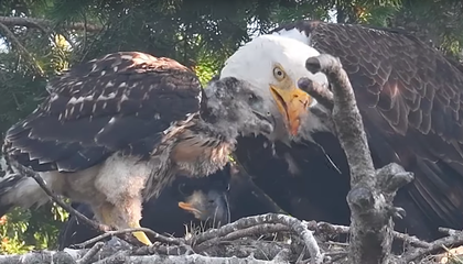 Eagles Adopt—Not Attack—a Red-Tailed Hawk Chick