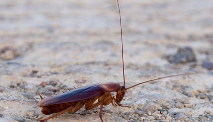 Cockroaches Stick to Different Neighborhoods Just Like New Yorkers Do
